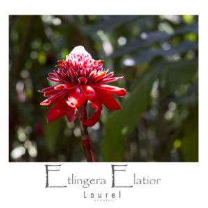 Etlingera Elatior