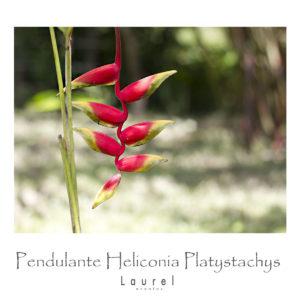 Pendulante Heliconia Platystachys